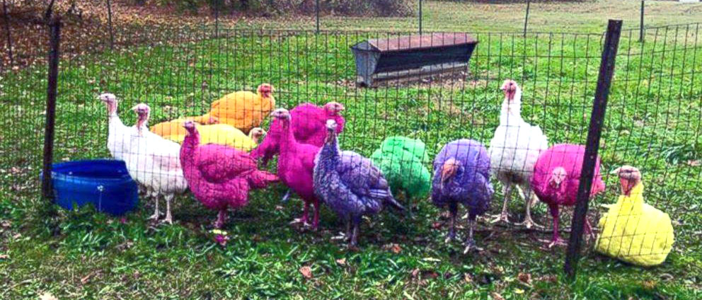 Turkeys dyed bright colors.