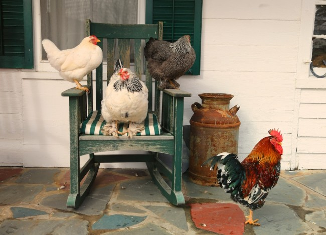 chickens on the rocker