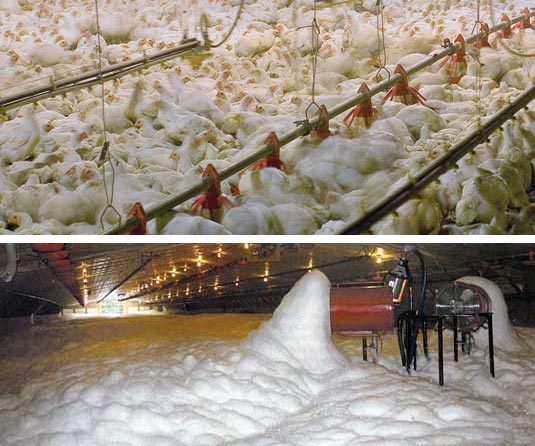 Hens being covered with foam to suffocate them.