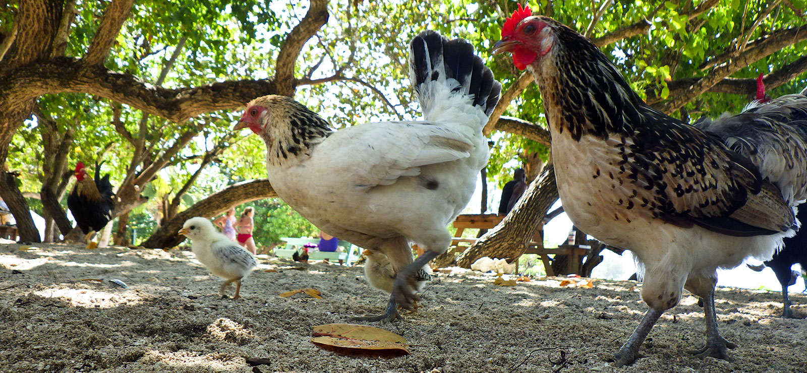 chick, hen and rooster walking side by side