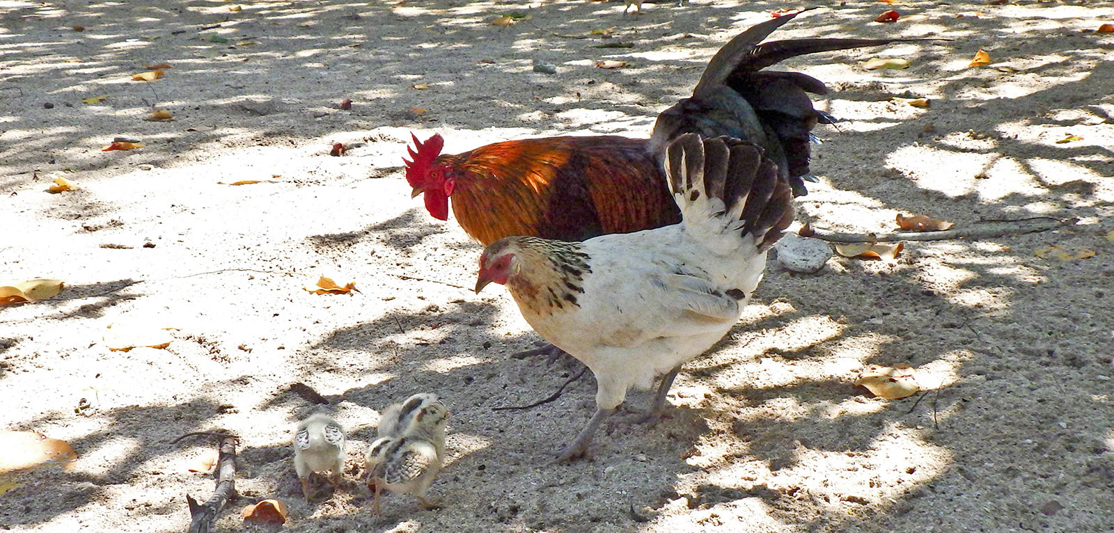 rooster and hen looking over chicks