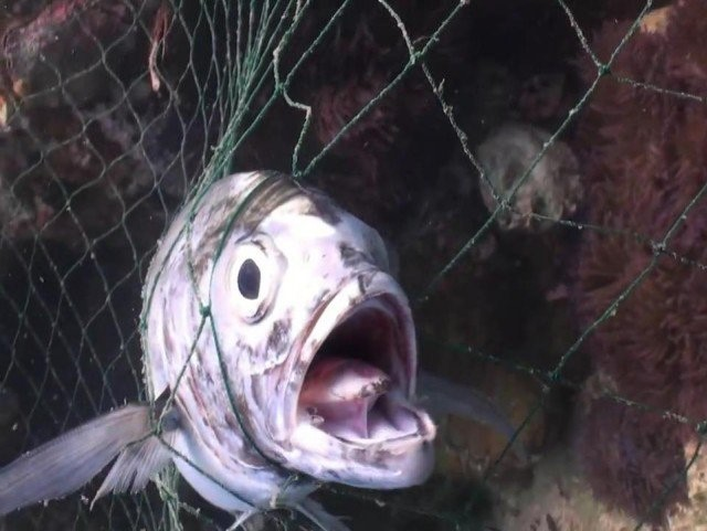 Fish caught in a net with mouth gaping and expression of horror