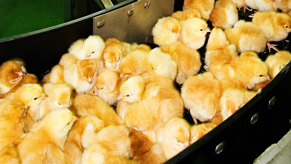 chicks on a conveyer