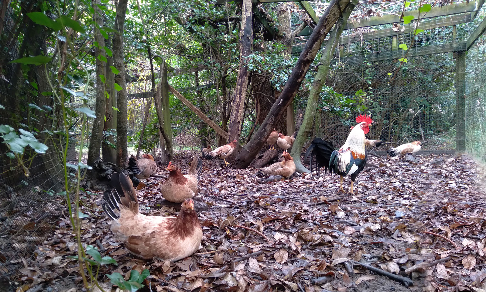Kahlua the rooster with hens