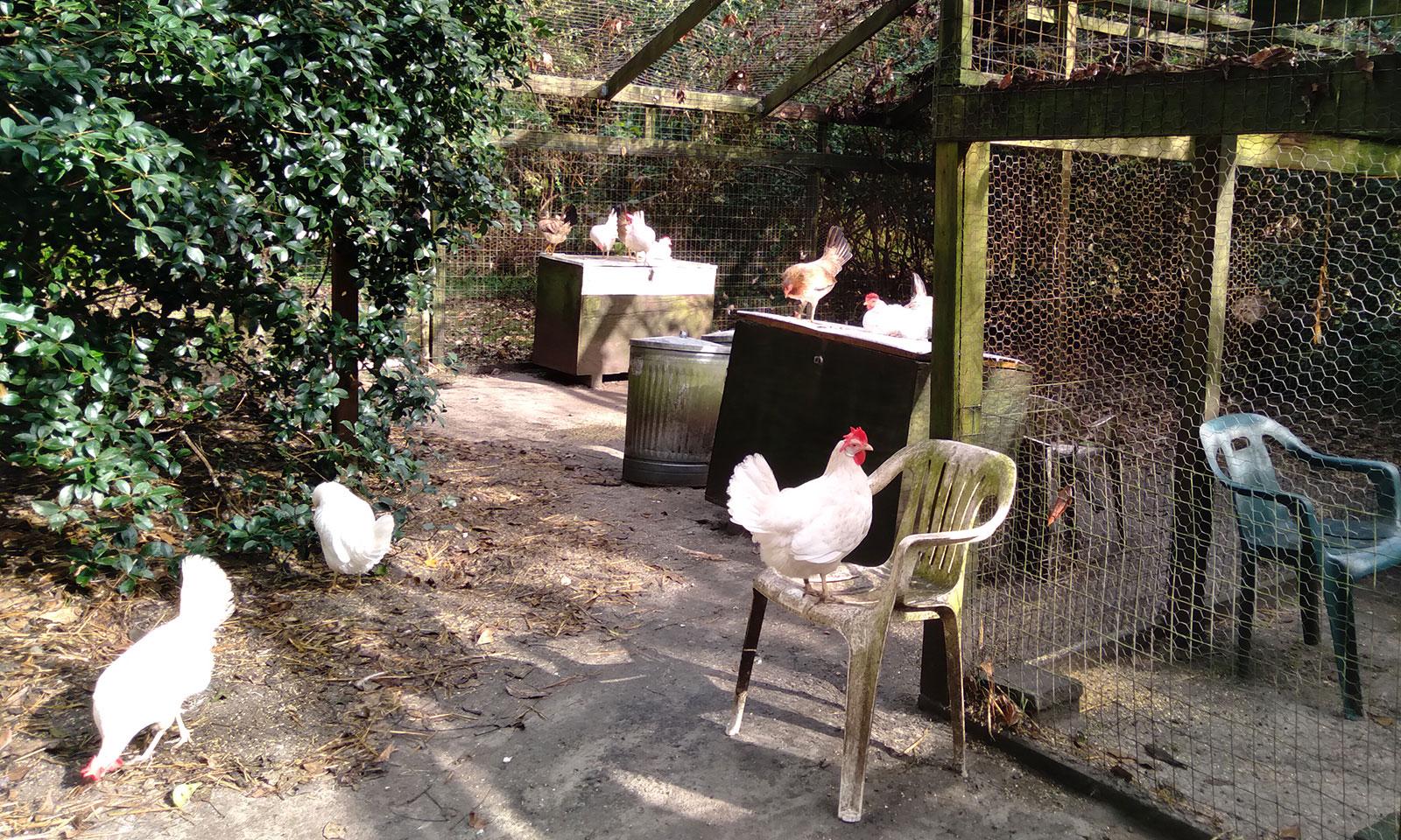 Sanctuary hens