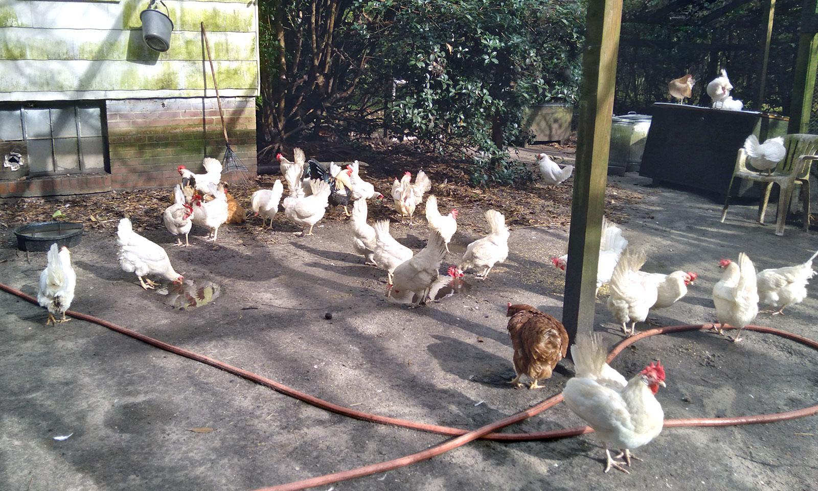 Hens near the house