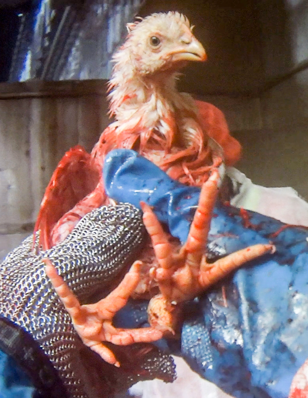 Bloody chicken held by hands wearing rubber gloves