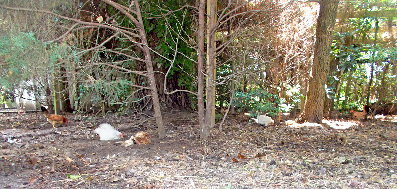 The hens in the shade and under trees.