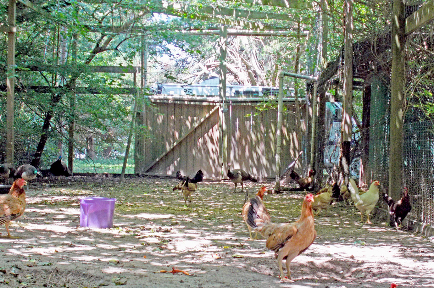 The hens exploring.
