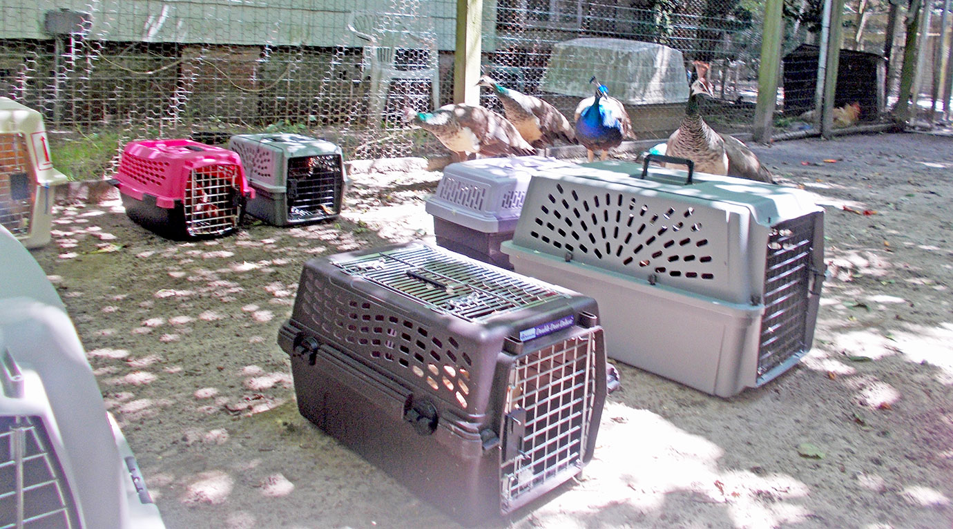 The hens near the empty crates they arrived in.