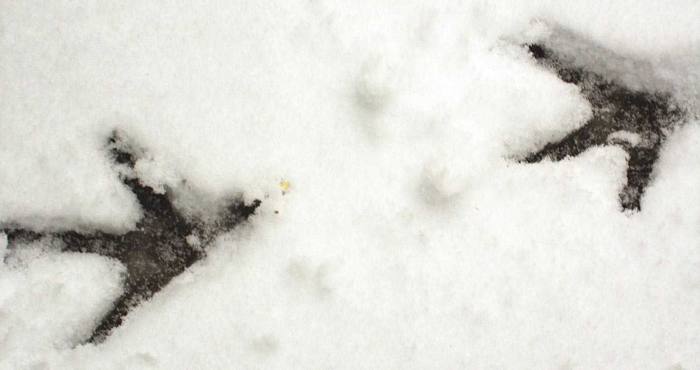 chicken tracks in the snow