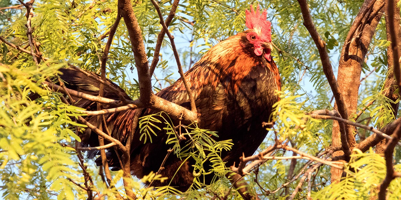 rooster perched in a tree