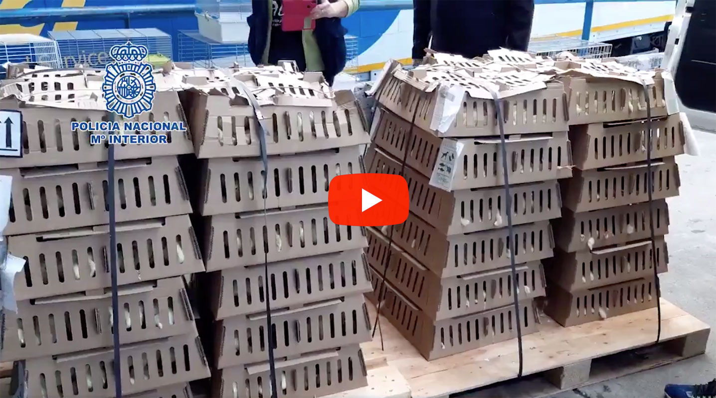 Video of chicks being rescued