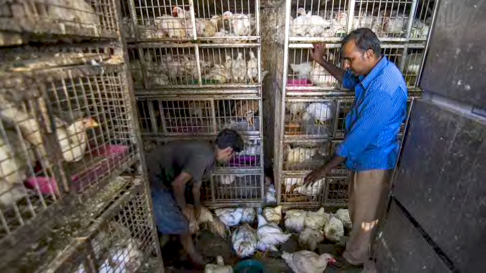From the moment they are born, these birds spend all their lives in total confinement.        Broiler chickens are born in large incubators with hundreds of others; crammed into small, often filthy spaces