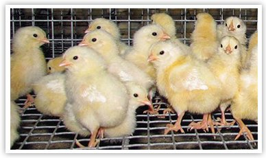 Chicks in a wire cage
