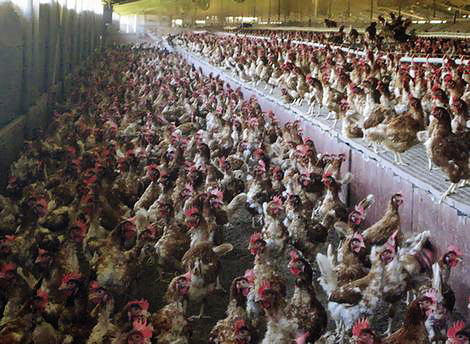 Hens crowded tightly together in a building