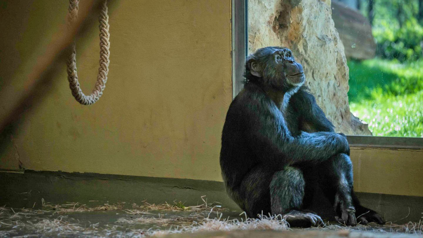 Chimp sitting in a cage