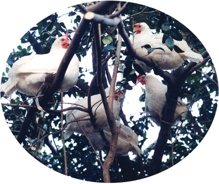 chickens_in_tree-circle (58K)