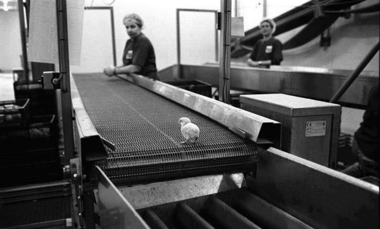 Lone chick on conveyor