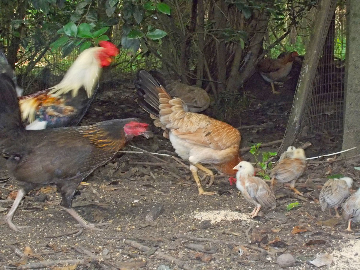 Roosters in a wooded area with chicks
