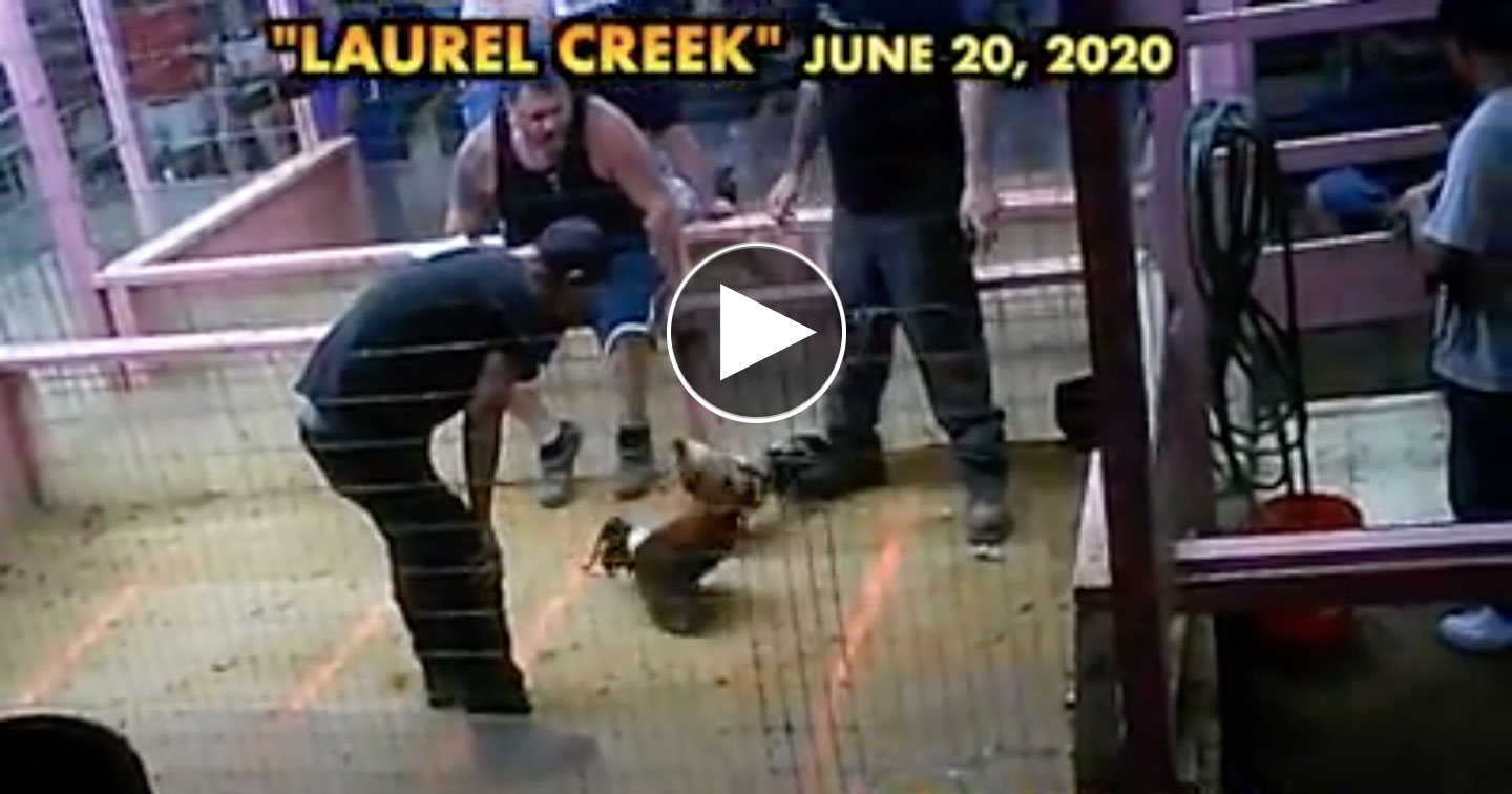 Cockfighting recorded at Laurel Creek, KY
