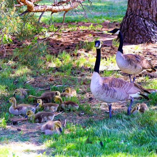 Two geese with goslings