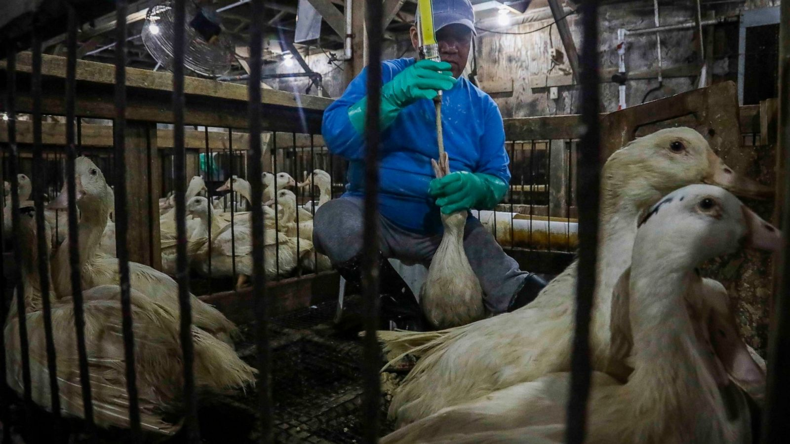Man force feeding a goose in an indoor pen with other geese watching