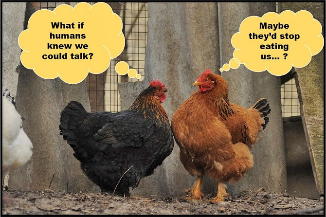 Two chickens talking to each other