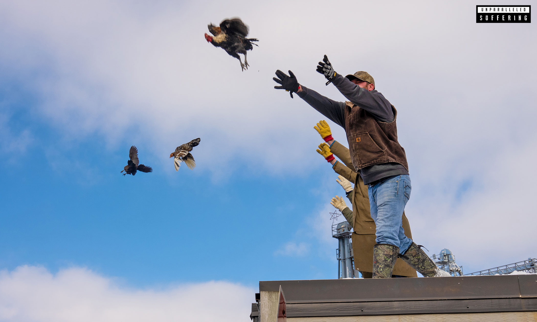 Terrified hens being thrown from a rooftop