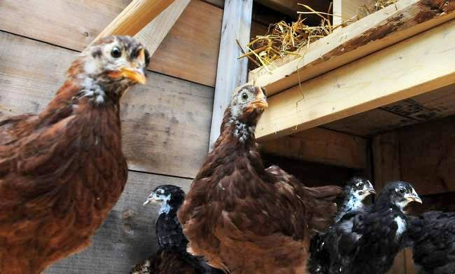 Strawbery Banke Museum has 12 hens for its reproduction 1940s chicken coop for its historic poultry exhibit.