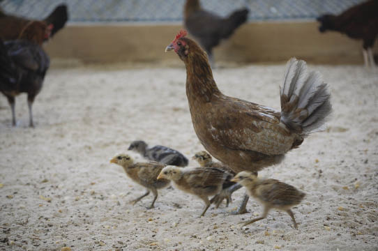 Hen walking with chicks