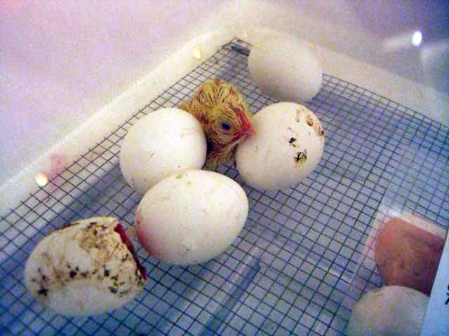 Hatched chick standing in an incubator next to eggs.