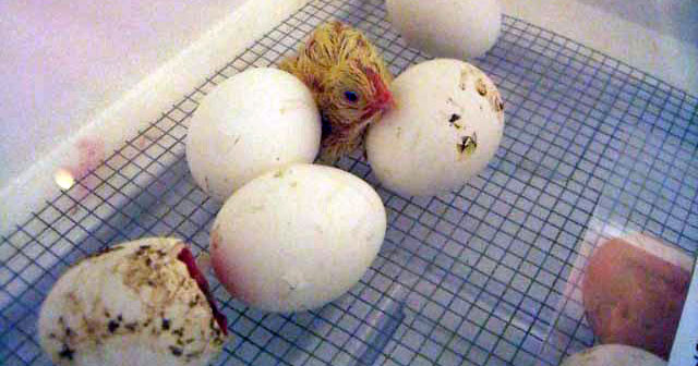 Chick standing in an incubator next to unhatched eggs