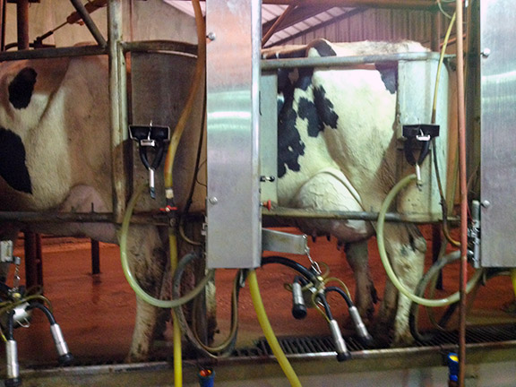 Cow on milking machine