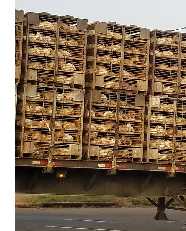 Chickens in a transport truck