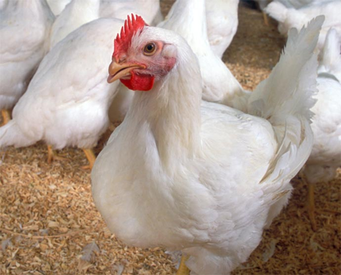 Today's robust broilers grow large due to selective breeding, not hormones.