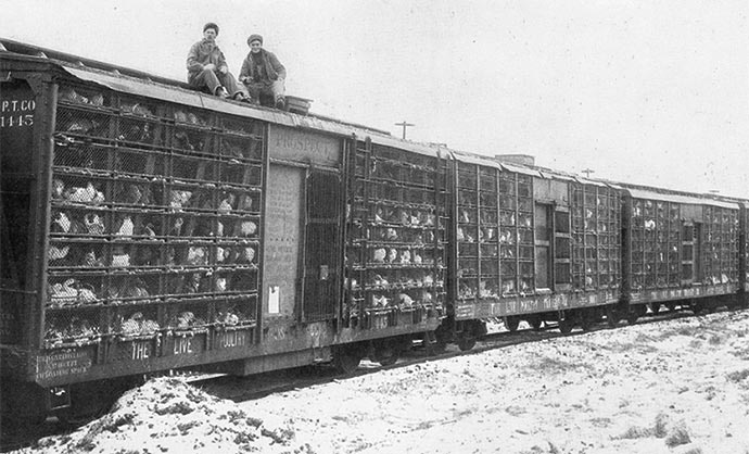 As the industry expanded, broiler chickens were distributed, live, by poultry train.
