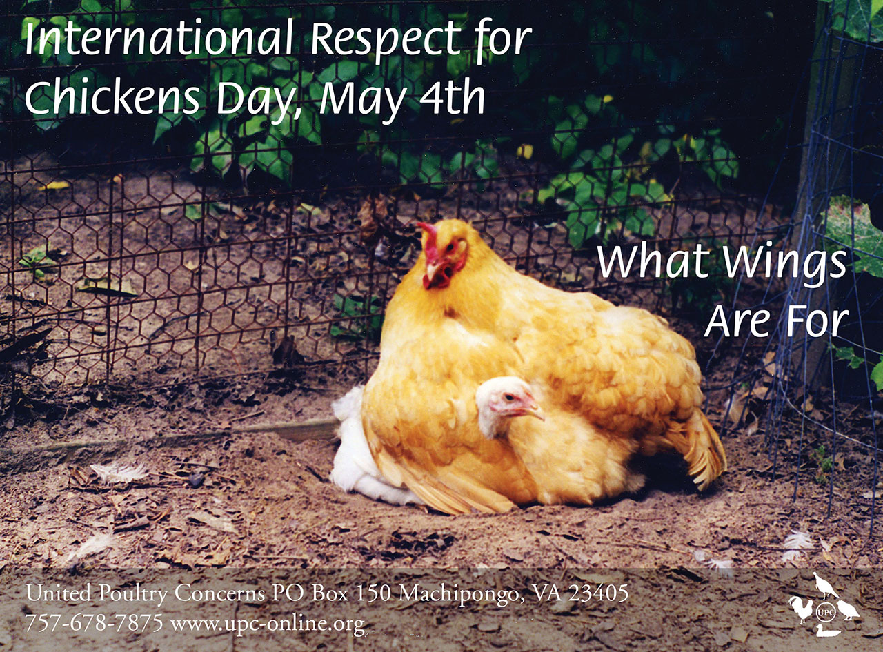 International Respect for Chickens Day info banner with photo of chich under a hen's wing