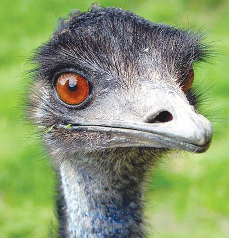 Emu looks into camera