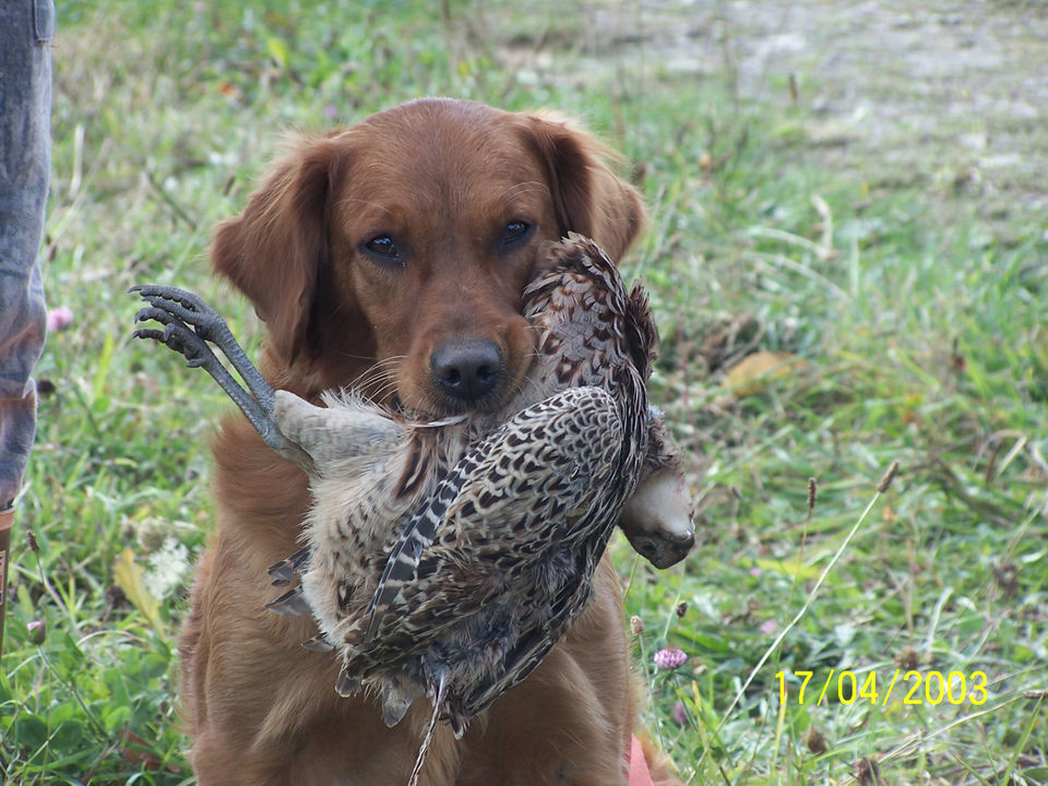 Golden retriever holding a pheasant in it's mouth.