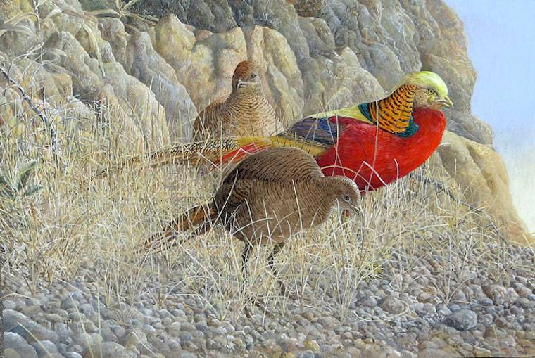 Description: Description: Golden Pheasant (Chrysolophus pictus) by Barry Kent MacKay