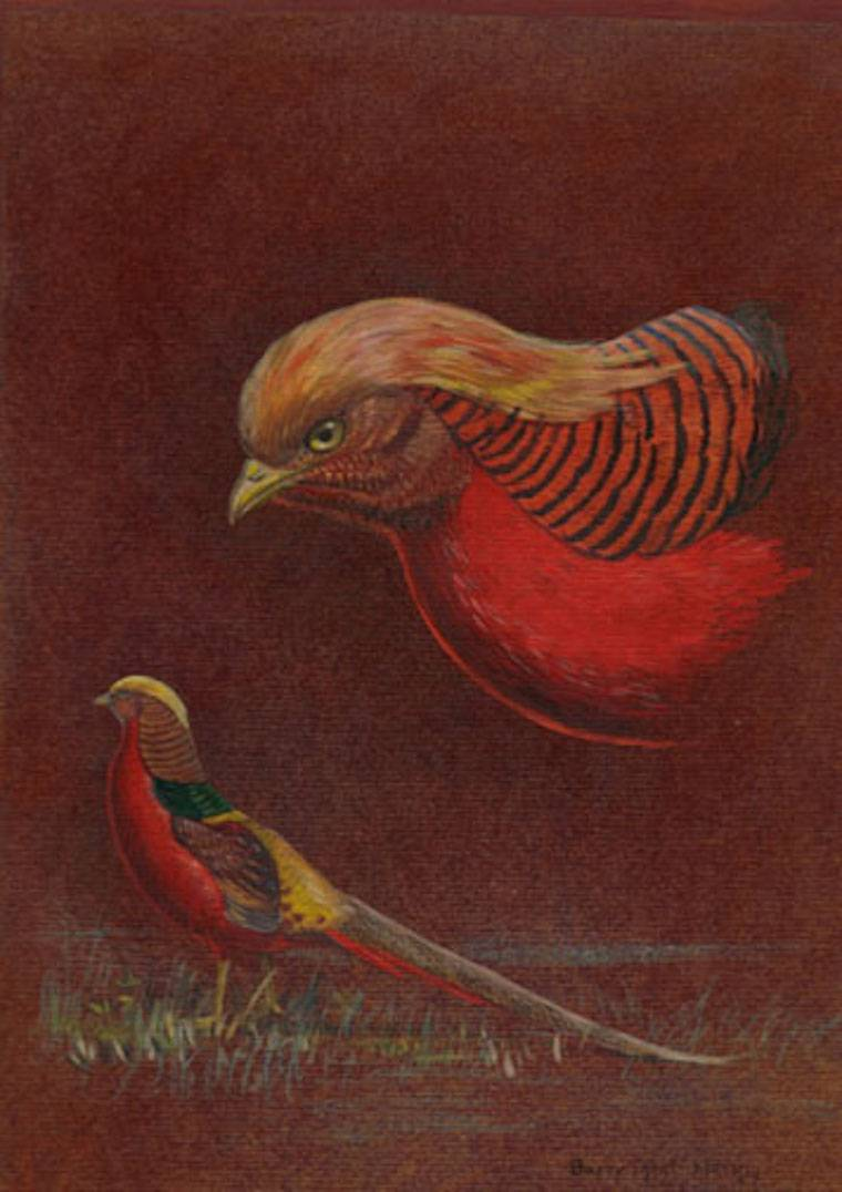 Golden Pheasant (Chrysolophus pictus) by Barry Kent MacKay