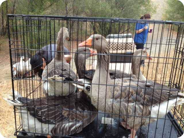 woodland geese and duck rescue 1