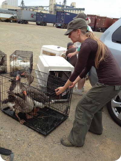 woodland geese and duck rescue 2