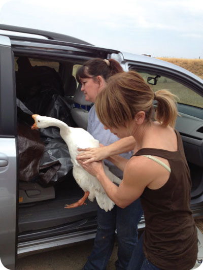 woodland geese and duck rescue 3