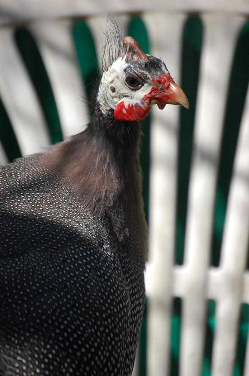goli the guinea fowl