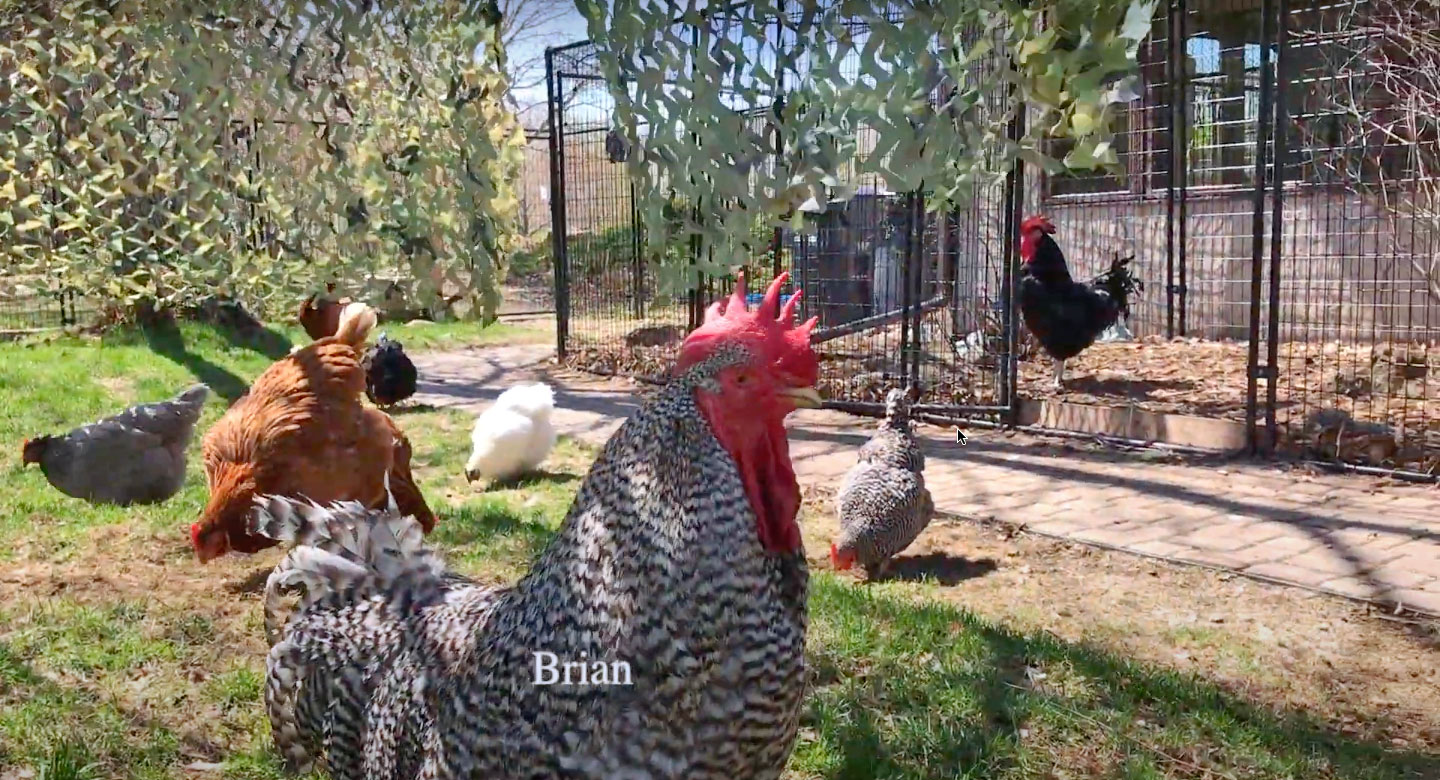 Brian the rooster at Chicken Run Rescue