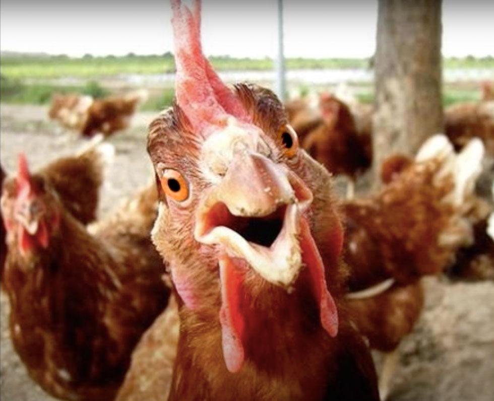 Sassy Chicken Farm