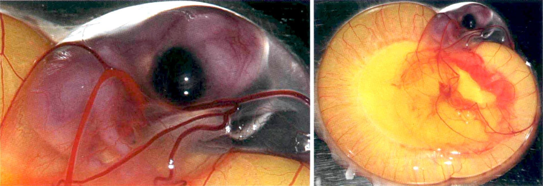 Chick embryo