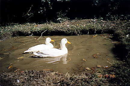 Swimming Ducks